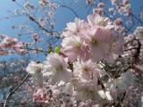 Catching the blossom with a haiku