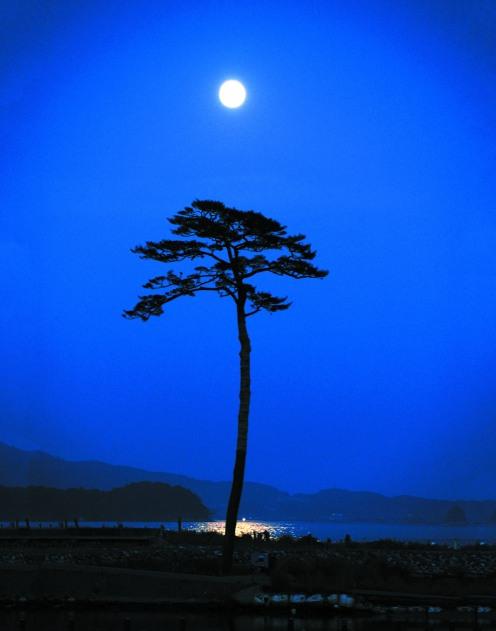 Rikuzentakata pine tree