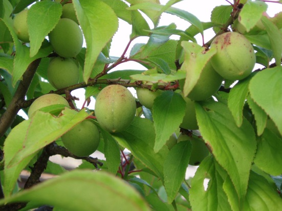 Unripe plum fruits