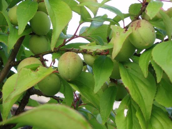 Unripe plum fruits