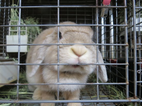 Super cute rabbit at a rabbit cafe!