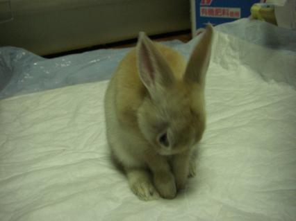 Yoroshiku bunny