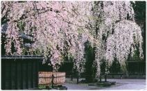 Kakunodate in spring
