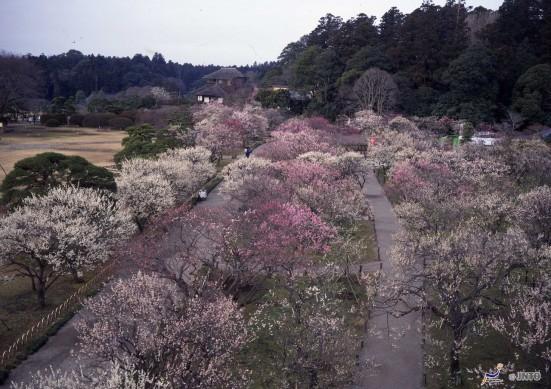 Plum Blossoms at Kairakuen © Ibaraki Kankou Bussan Kyokai/© JNTO