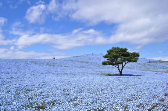 Nemophila at Hitachi Seaside Park