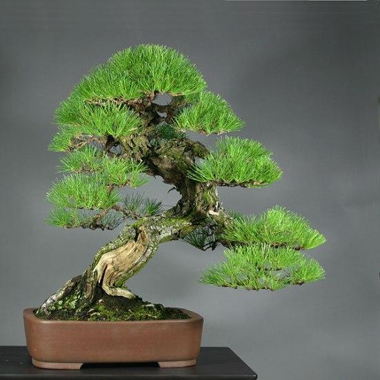 Kuromatsu Bonsai