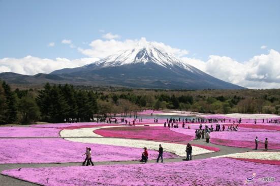 Fuji Shibazakura Festival ©Akira Okada/© JNTO