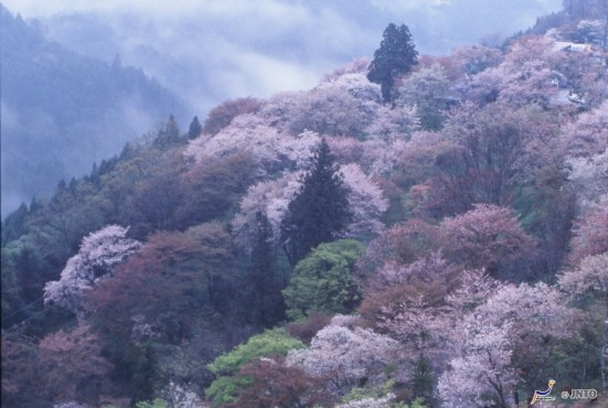Cherry blossoms at Mt. Yoshino ©NARA TOURISM FEDERATION/©JNTO